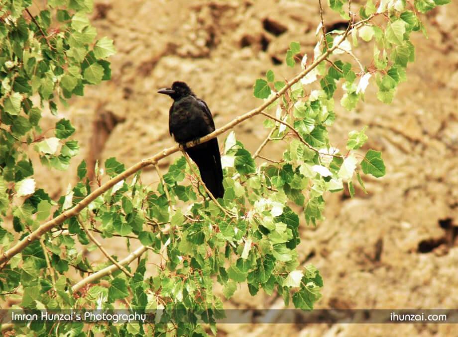 Hunza crow Photo by Imran Ahmed Hunzai
