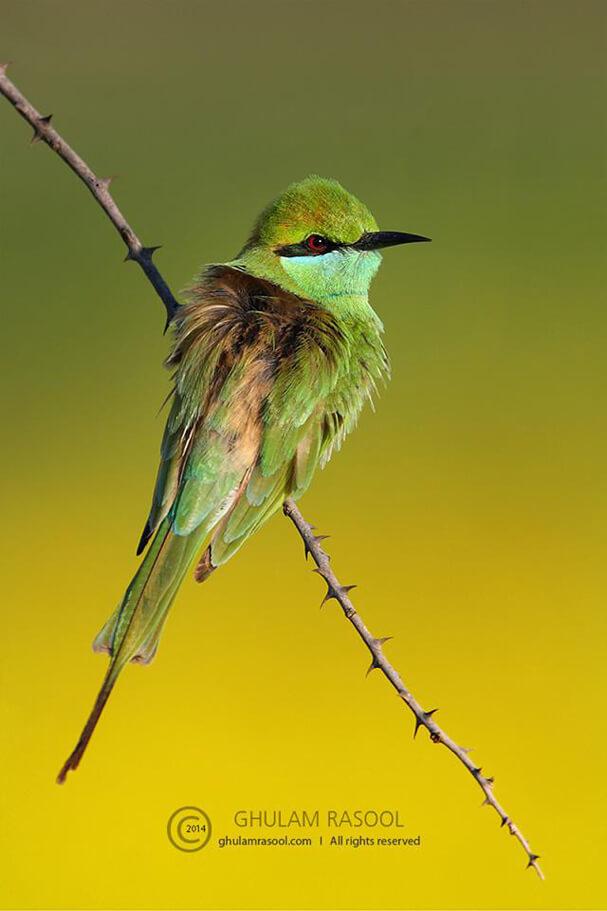Little Green Bee-Eater Sindh, Pakistan by Ghulam Rasool