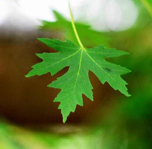 Maple Leaf of Canada Flag by Shehzad Anwar