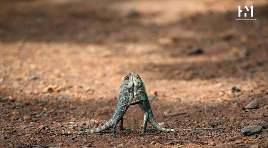 Salsa time Garden lizard by Hari Menon Photography